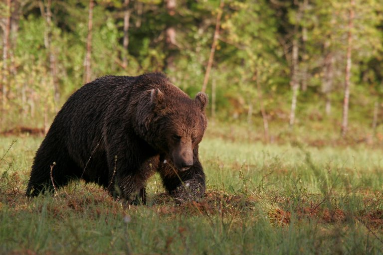 finnish brown bear - photo by alexander kopatz-1.jpg