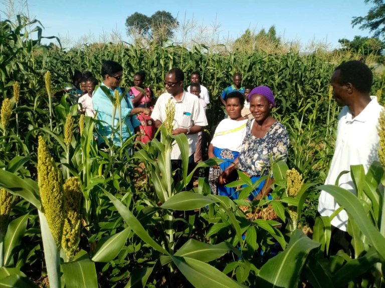Photo-1- Ms. Getrude Sibanda shows the vigorous growth of sorghum-pigeon pea intercropped field.jpg