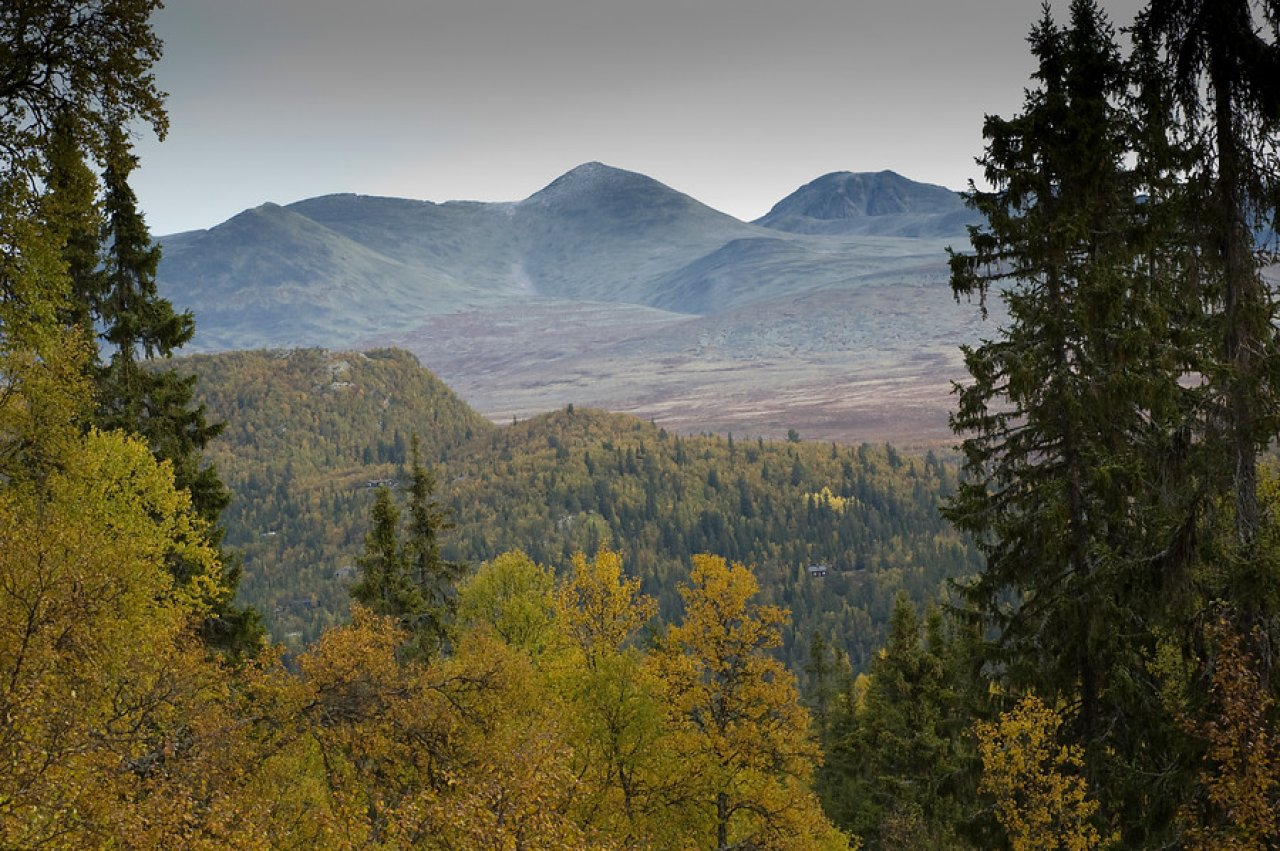 Skog i Rondane - Foto Lars Sandved Dalen - NIBIO