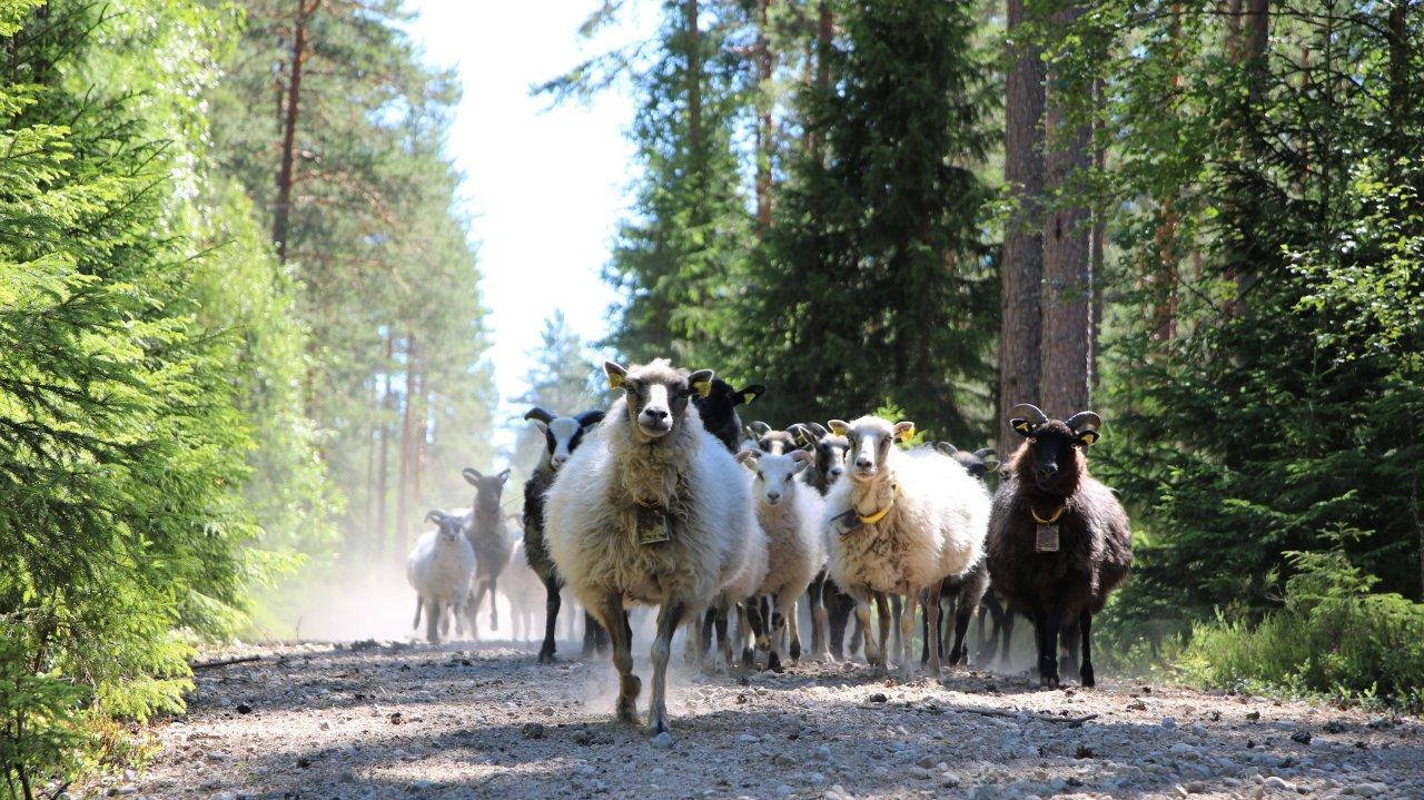 Gamalnorsk sau_inngjerda utmark_Grue i Hedmark_Foto Kjersti Kildahl