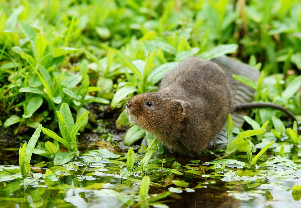 Water_Vole_on_Boot_Hill_(5592665124)