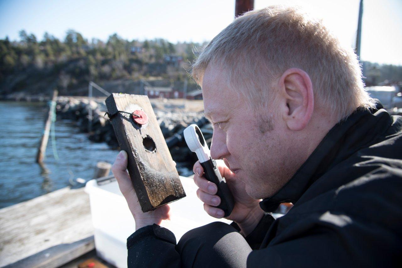 For å undersøke om de nye måtene å behandle trevirke på er bedre til å motstå den ugjestmilde behandlingen fra vær og vind, pælemark og pælelus blir treprøvene testet i marint miljø og sammenlignet med kjente og velbrukte metoder. Foto: Lars Sandved Dalen, NIBIO.