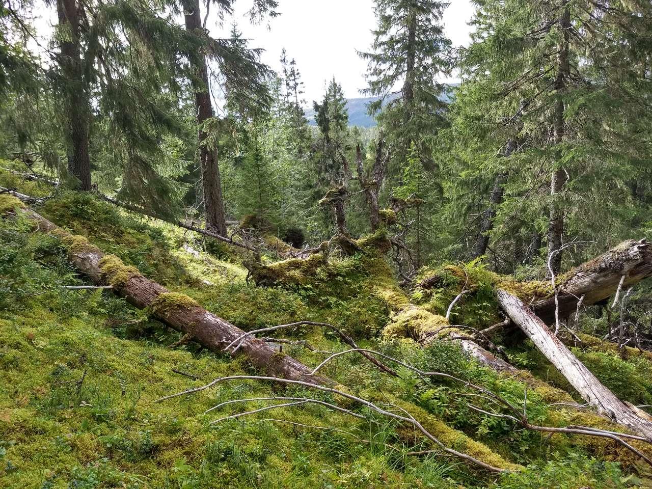 Gammel skog øker - Foto Aksel Granhus - NIBIO