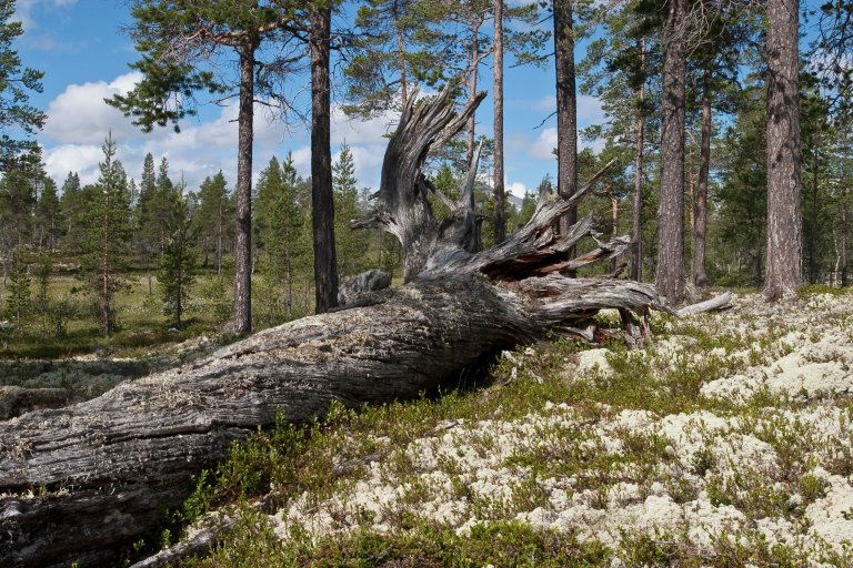 Liggende død ved - Foto John Yngvar Larsson - NIBIO.jpg